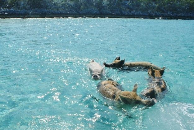 According to The Daily Mail , Pig Island, or Big Major Cay, is an area in the Caribbean full of feral pigs that love to swim.