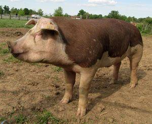 Hereford hog