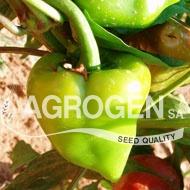 Traditional pepper seeds   Παραδοσιακοί σπόροι πιπεριάς  http://www.agrogen.gr/