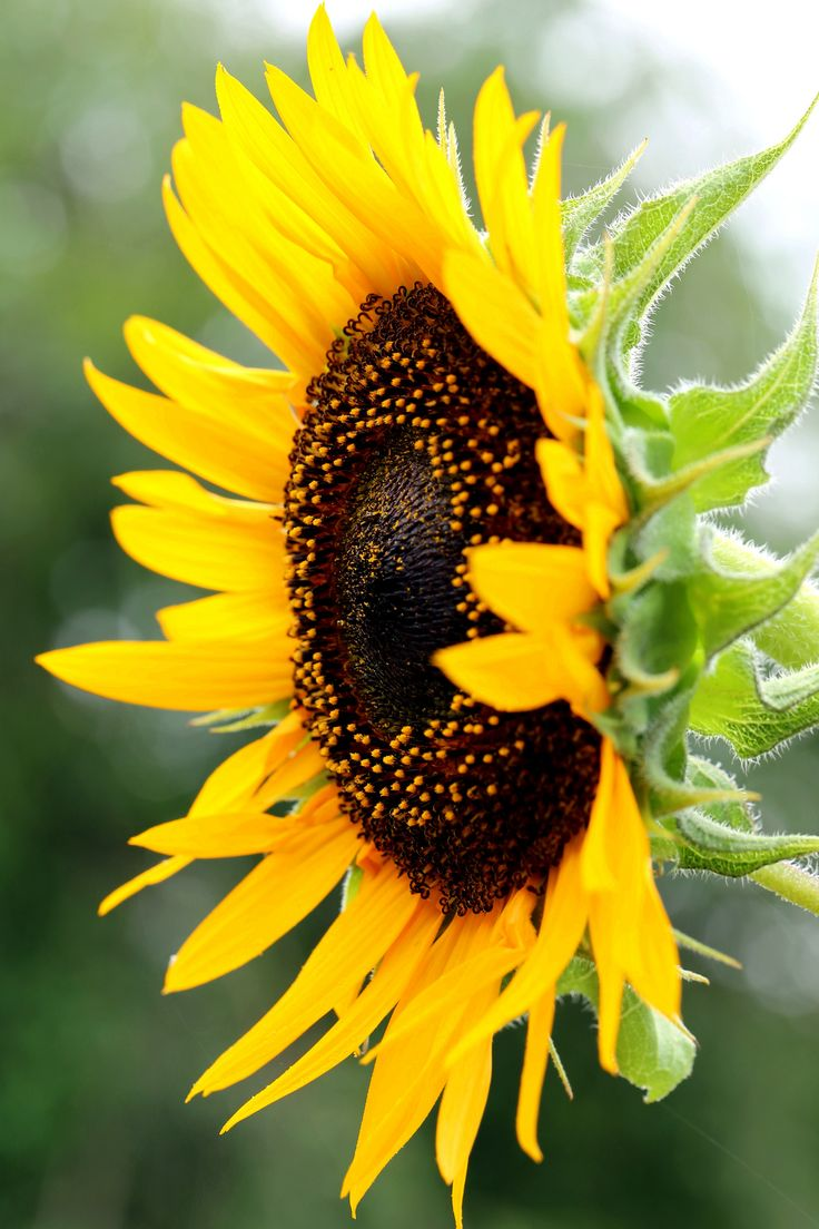 Sunflower | Yoshihiro Ogawa | Flickr