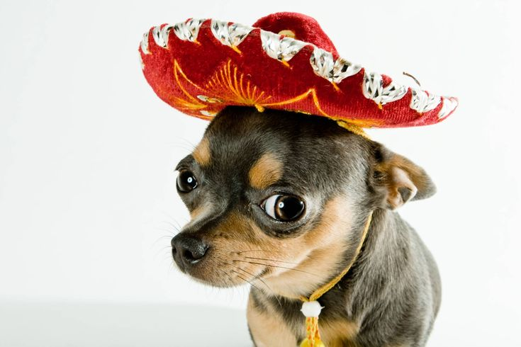 The Chihuahua is the world's smallest dog and is named for a Mexican state. Description from goweirdfacts.com. I searched for this on bing.com/images