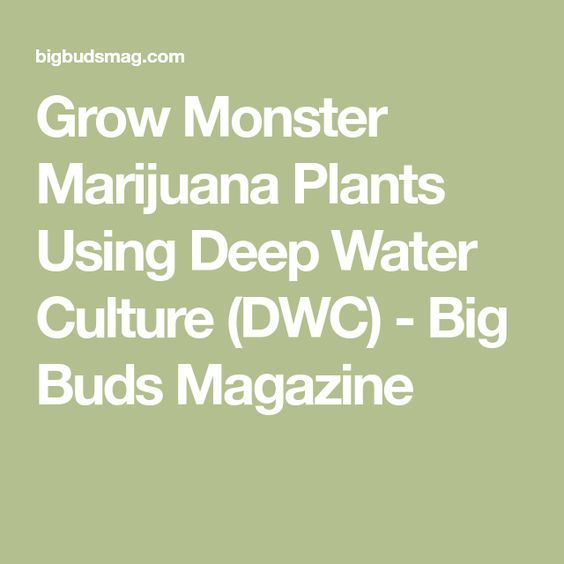 Grow Monster Marijuana Plants Using Deep Water Culture (DWC) - Big Buds Magazine