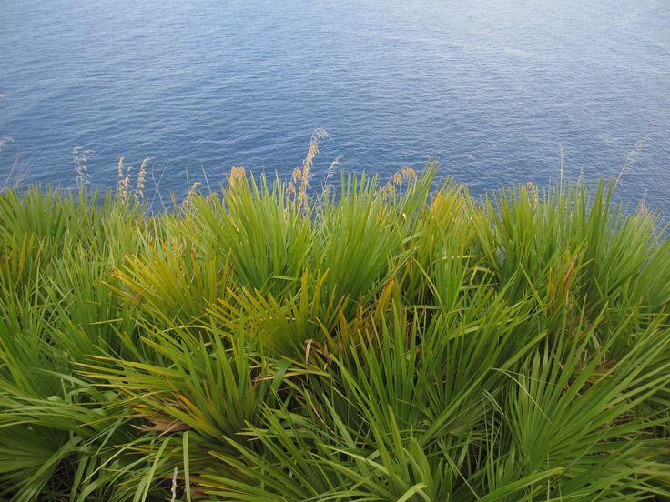 La riserva dello zingaro, palme nane, Sicilia 2012