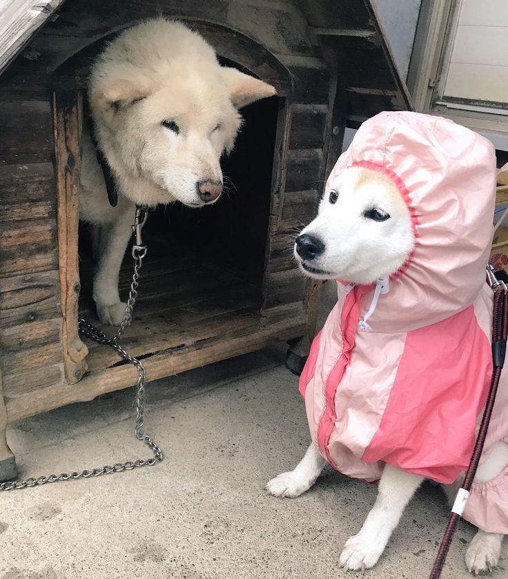 """""""くうちゃんとボーロくん。 #じわじわくる柴犬を無言であげる見た人もやる #雑種だと思っていたボーロくんが実は白柴だったということが判明 #柴犬 #shibainu"""""""
