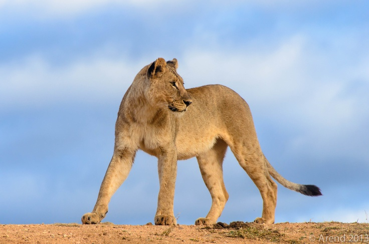 Lion looking back