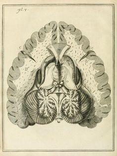 Shows the pineal gland, medulla, thalamus, caudate nucleus, corpus callosum…
