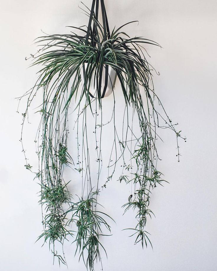 This spiderplant has rockstar hair.