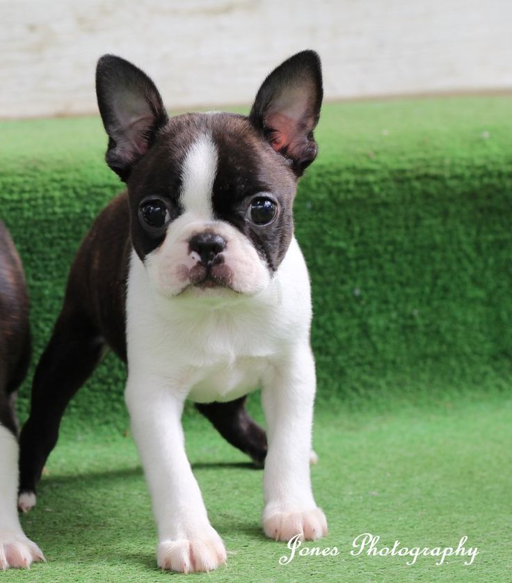 Dolly Boston Terrier Fave Such A Sweet Puppy