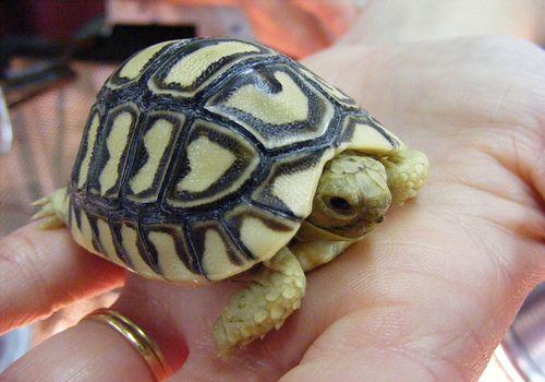 small tortoise breeds - Google zoeken