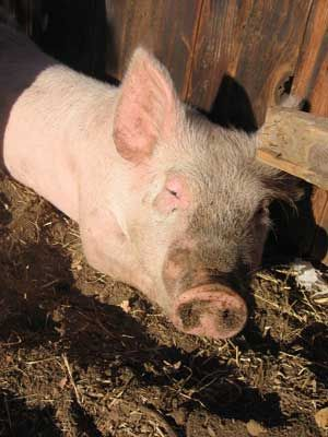 Urban Meat, Part II: Pigs - Homesteading and Livestock - MOTHER EARTH NEWS