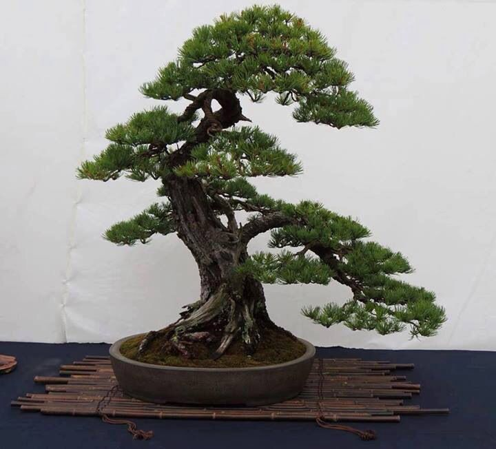 1157 mejores im genes sobre flora bonsai en pinterest for Bonsais de interior