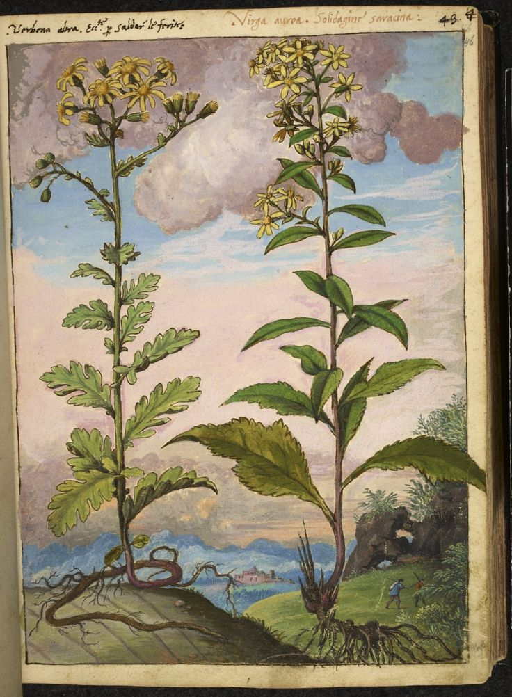 """Full page botanical painting of Abronia arenaria (Yellow verbena) and Solidago or Virga-aurea (Goldenrod) in a mountain landscape with two men carrying poles and a walled city below.""  From Dioscorides' 'De re medica', by Pietro Andrea Mattioli, Physician of Siena, assembled and illustrated by Gherardo Cibo—ca. 1564-1584."