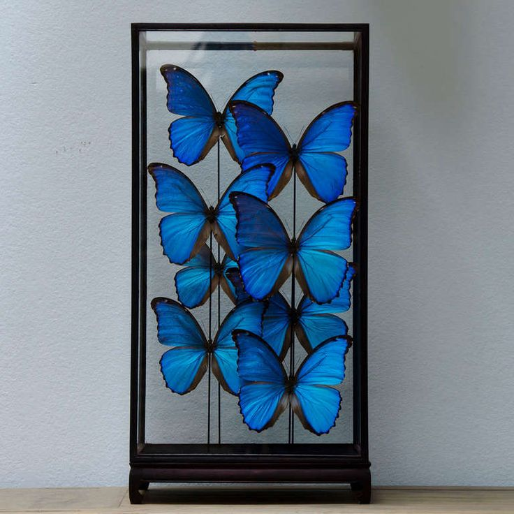 Large Butterfly Showcase  PRICE:	$1,645.65 Purchase  DATE OF MANUFACTURE:	Unknown MATERIALS:	Butterfly and Glass CONDITION:	Excellent HEIGHT:	20.47 in. (52 cm) WIDTH:	10.63 in. (27 cm) DEPTH:	10.63 in. (27 cm) DEALER LOCATION:	Noord-Brabant, Netherlands
