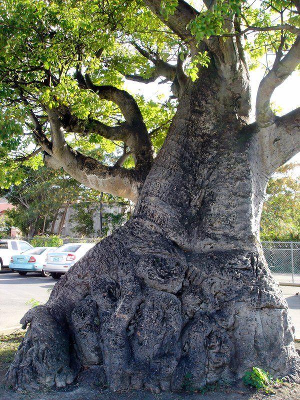1000 Images About Baobab Trees On Pinterest Madagascar