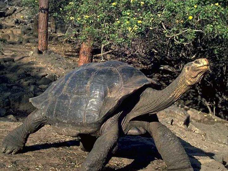 Los animales más longevos del planeta.  Hay muchas de tortugas de grandes dimensiones, pero ninguna es comparable a la especie Geochelone nigra, la tortuga gigante de Galápagos, un reptil realmente impresionante. Puede llegar a medir más de 1,80 metro de longitud, pesar alrededor de 225 kg y vivir más de 150 años.  Tal como su nombre lo indica, esta tortuga gigante es originaria de las islas Galápagos, un archipiélago del Pacífico localizado a 970 km del litoral ecuatoriano.