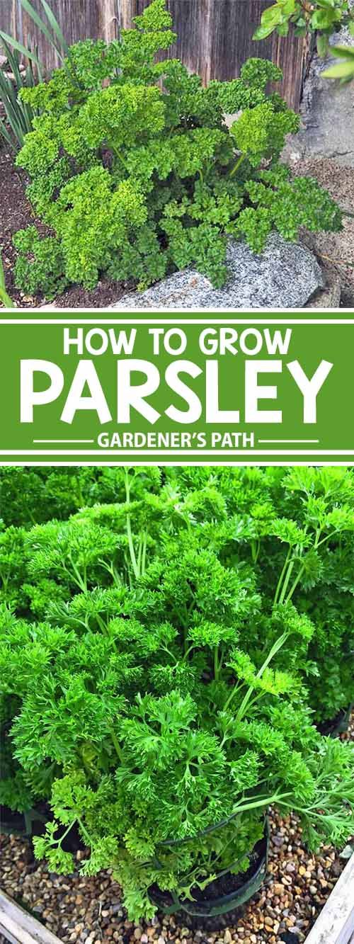 The 25 best how to grow parsley ideas on pinterest how to grow dill oregano growing and - Tips planting herbs lovage parsley dill ...