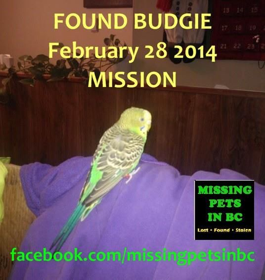 FOUND BUDGIE in MISSION Holiday Avenue - FEBRUARY 28 2014