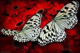 Black and white butterflies in a sea of red flowers