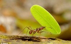 Leaf cutter ants Leaf-cutter ants retire when their teeth wear out | Daily Mail Online