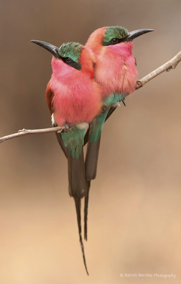 Two beautiful pink and green birds.  Lovely colors!
