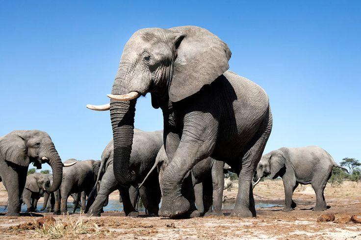 Hunter Crushed by Elephant in Zimbabwe