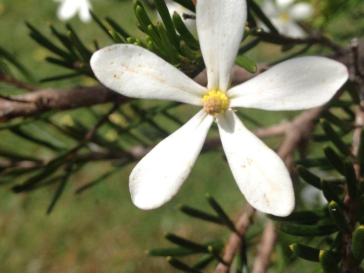 A wedding Bush Flower