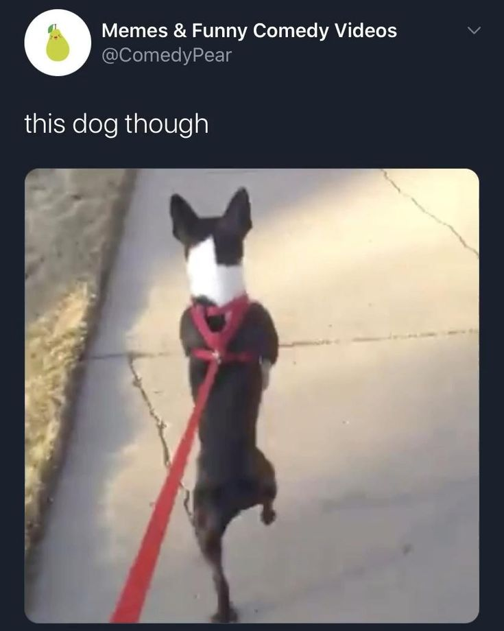 Hilarious walking dog goes for a stroll on tiktok best