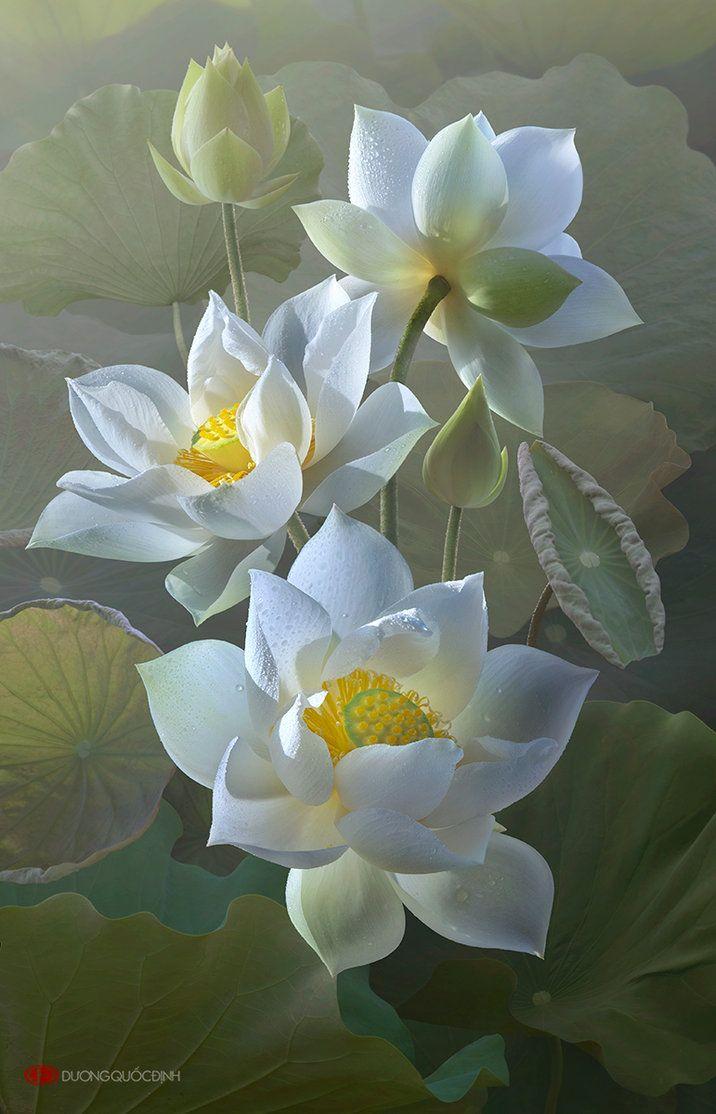 Lotus brancas