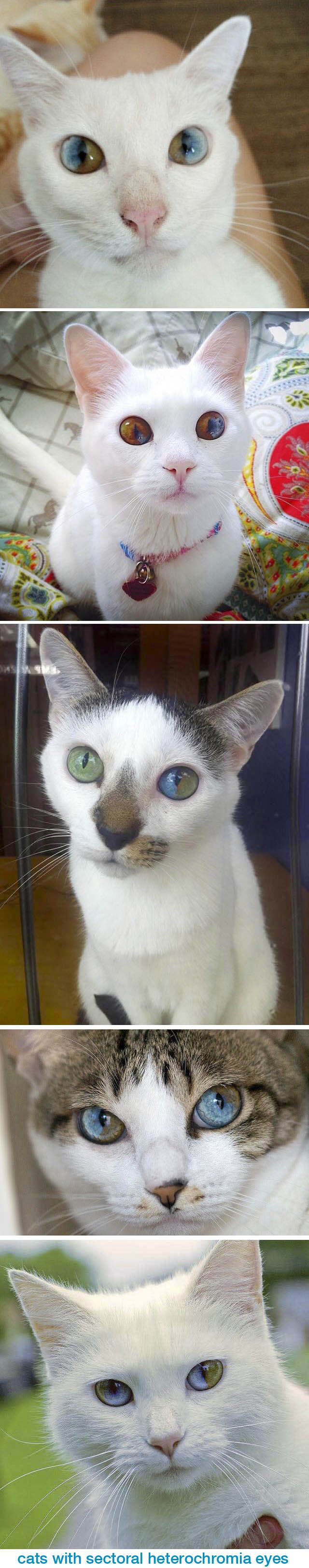 These gorgeous cats have eyes where each has two different colors, a condition referred to as sectoral heterochromia, where the iris contains two completely different colors in the same area. This is unlike typical odd-eyed cats who have complete heterochromia, where one iris is a different color from the other. Cats with heterochromia are usually white or white-spotted. These kitties are undoubtedly some of the most fascinating-looking creatures on the planet! : via: lovemeow.com