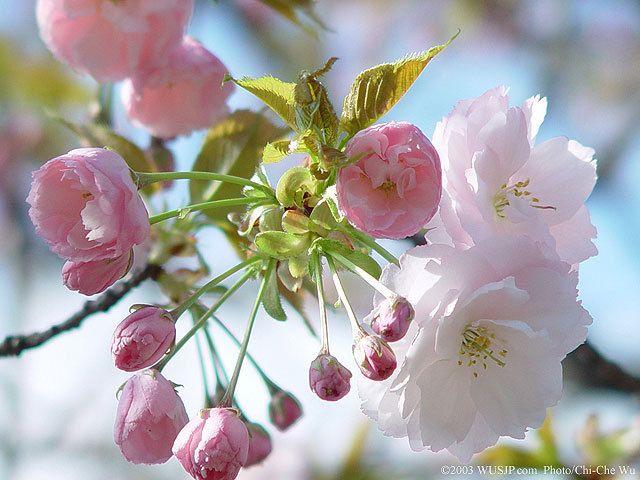flori de cires - Căutare Google
