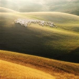 Sheep in the morning sun