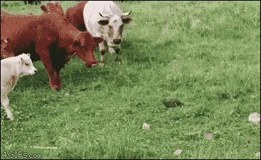 Watch Cows find a turtle Animated Gif Image. Gif4Share is best source of Funny GIFs, Cats GIFs, Dogs GIFs to Share on social networks and chat.