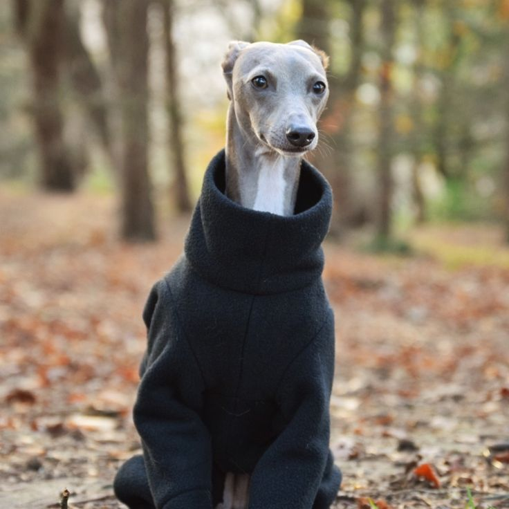 17 Best images about Italian Greyhound Clothing on ...