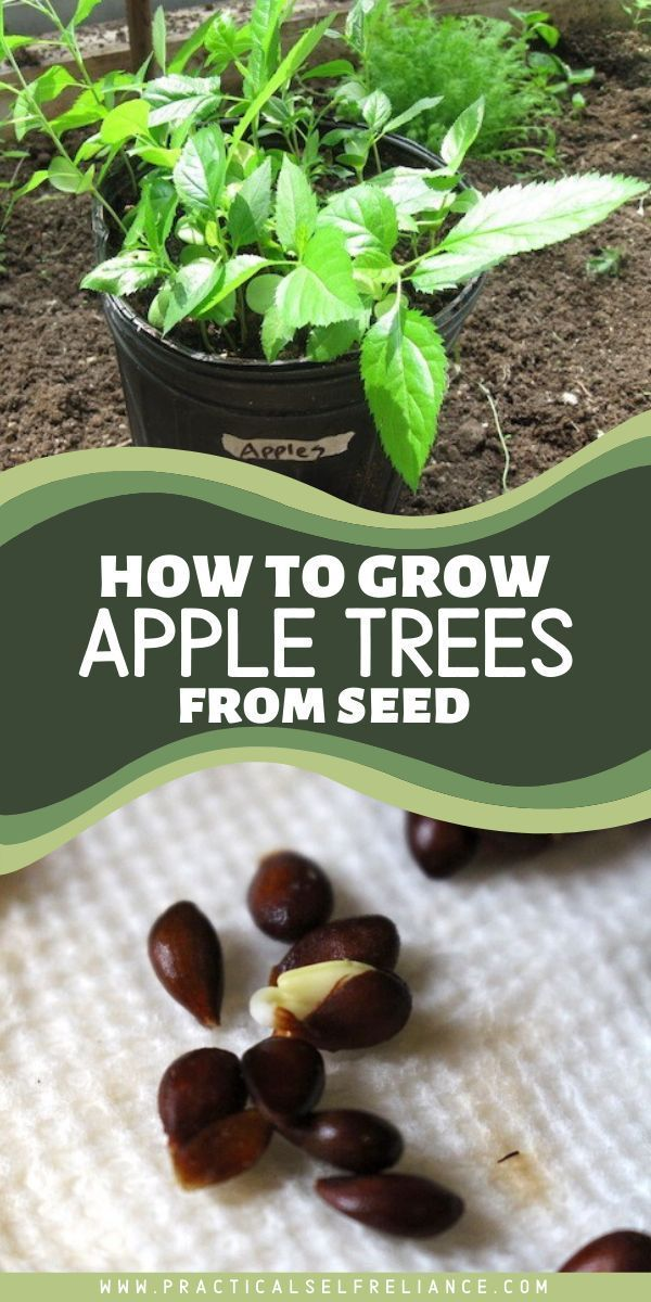 How To Grow Apple Trees From Seed Apple Tree From Seed Planting Fruit Trees Growing Fruit Trees