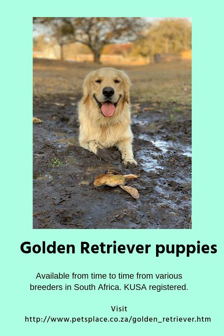 Golden Retrievers Make Great Pets They Fit In With Most