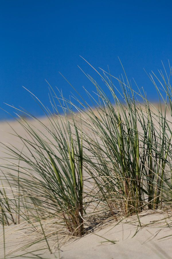 Beach Grass In Sand Dunes Marram Grass Bent Or Beach Grass In Sand Dunes Near Sponsored Sand Dunes Beach Grass Balti With Images Beach Grass Sand Dunes Sand