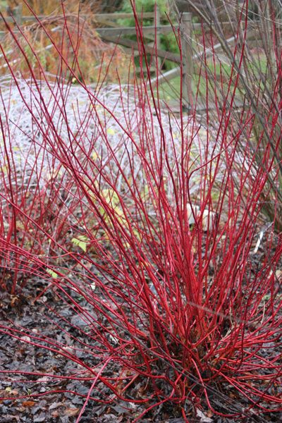 Buy red-barked dogwood Cornus alba 'Sibirica': Delivery by Crocus.co.uk