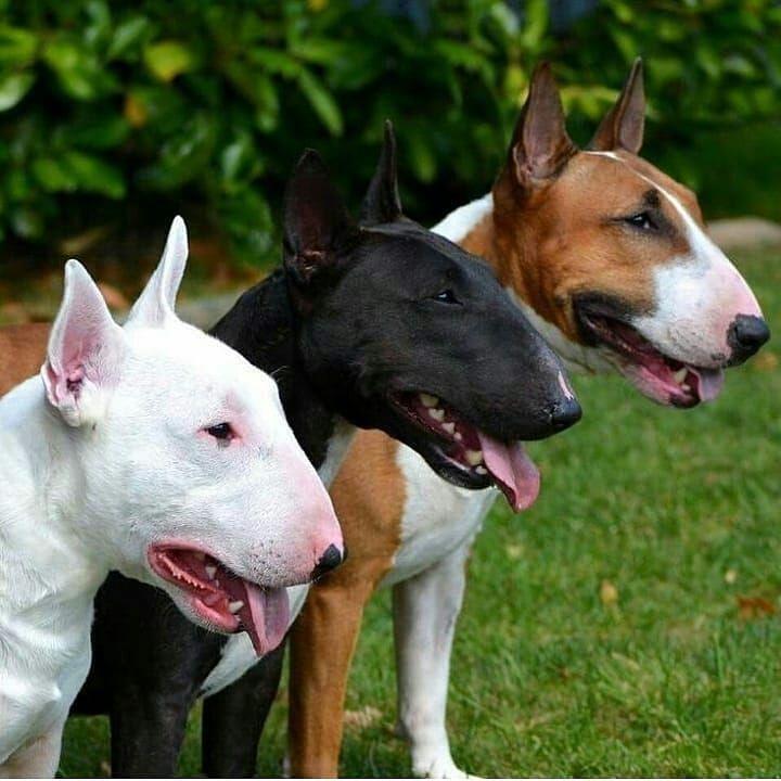 Post By Prefiro Bicho Oficial Bullterrier Bullterrierlove Bullterriers Ebt Englishbullterr Bullter Mini Bull Terriers Bull Terrier Miniature Bull Terrier