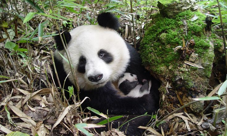 "SOMETIMES THERE IS GOOD NEWS : China now reports 1,864 wild pandas—a major rise in just a decade.""The rise in the population of wild giant pandas is a victory for conservation and definitely one to celebrate,"" said Ginette Hemley, Senior Vice President of Wildlife Conservation at WWF.   Visit www.worldwildlife.org to lean more."