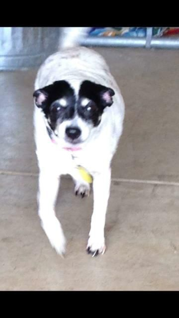 Rat Terrier dog for Adoption in Woodstock, IL. ADN-644094 on PuppyFinder.com Gender: Female. Age: Senior