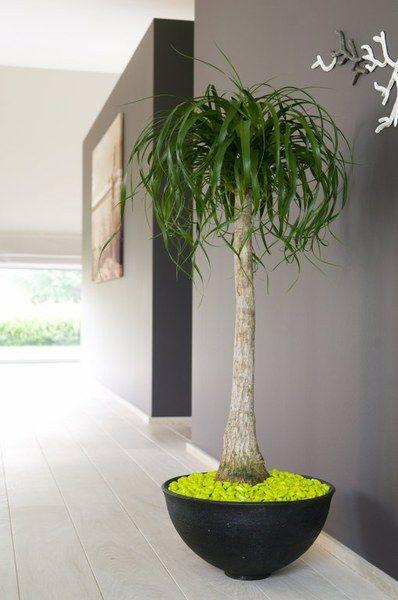 Beaucarnea recurvata. Ponytail Palm
