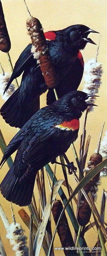 Wildlife Artist Carl Brenders Unframed S/N Print Red-Winged Blackbirds | WildlifePrints.com