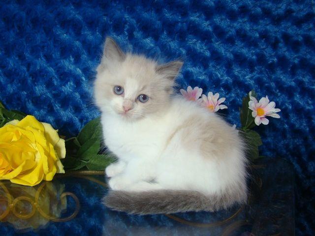 Harley Blue Bicolor Male Ragdoll - Ragdoll Kitten for Sale - from www.RagdollKittens.com