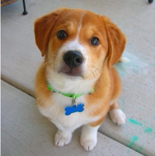Shiba Inu Beagle Mix If Anyone Finds A Litter Of These Cuties Please Let Me Know