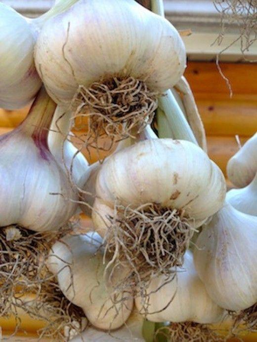 Treat freshly harvested garlic carefully. Newly harvested garlic is easily bruised, decreasing the bulbs longevity.