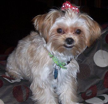 Shorkie breed. My baby is one and she is soo sweet! Yorkie/Shihtzu mix. Mine looks mostly Shihtzu. Photo is not mine.
