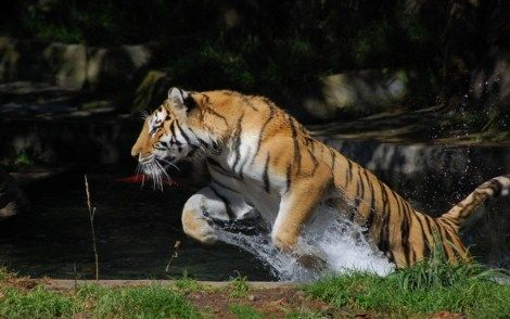 Fotos de animales felinos salvajes