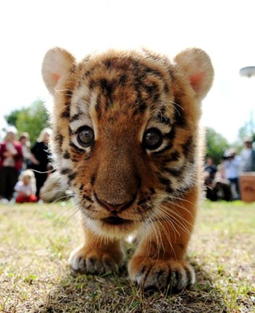 Baby Tiger :) More on www.babypenguin.com