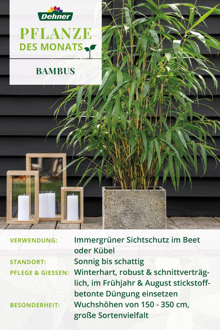 Wir Prasentieren Unsere Pflanze Des Monats Den Bambus Dieses