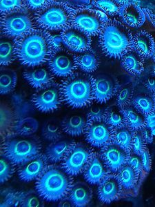 4 Polp Teal Ring Zoa Stunning Rare Coral Marine Tank Frag Colonie Soft Lps Sps at Aquarist Classifieds